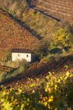 Vineyards, Near Alba, Langhe, Piedmont, Italy Photographic Print by Peter Adams
