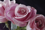 Pink Roses Photographic Print by Anna Miller