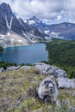 Hoary Marmot with a View, Mt. Assiniboine Park Photographic Print by Howie Garber