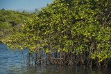 Red Mangrove (Rhizophora Mangle), Galapagos Islands, Ecuador Photographic Print by Pete Oxford