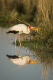 Botswana, Moremi Game Reserve, Yellow Billed Stork Captures Small Frog Photographic Print by Paul Souders