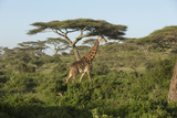 Adult Masai Giraffe Walks Through Green Shrubs and Acacia Trees Photographic Print by James Heupel