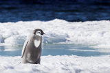 Cape Washington, Antarctica. An Emperor Penguin Chick with Heart Photographic Print by Janet Muir