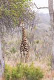 South Londolozi Private Game Reserve. Giraffe Stands under Tree Photographic Print by Fred Lord