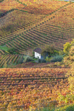 Vineyards, Near Alba, Langhe, Piedmont, Italy Photographic Print by Peter Adams