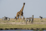 Kenya, Amboseli NP, Maasai Giraffe with Burchell's Zebra at Water Hole Photographic Print by Alison Jones