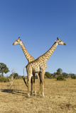 Botswana, Chobe NP, Giraffes Standing Side by Side in Okavango Delta Photographic Print by Paul Souders