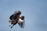 Botswana, Chobe NP, African Fish Eagle Taking Off Above Savuti Marsh Reproduction photographique par Paul Souders