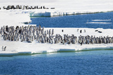 Antarctica. Emperor Penguin Chicks at the Edge of an Ice Shelf Photographic Print by Janet Muir