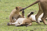 Lion Cub Bites the Tail of Lioness, Ngorongoro, Tanzania Photographic Print by James Heupel
