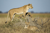 Botswana, Chobe NP, Lioness and Young Cubs Standing on Termite Mound Photographic Print by Paul Souders