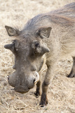 Namibia, Windhoek, Okapuka Ranch. Close-up of Warthog Fotografisk tryk af Wendy Kaveney