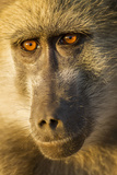 Botswana, Chobe NP, Portrait of Chacma Baboon Sitting in Morning Sun Photographic Print by Paul Souders