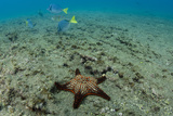 Panamic Cushion Star, Galapagos Islands, Ecuador Photographic Print by Pete Oxford