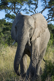 South Eastern Cape, Inkwenkwezi Game Reserve. African Elephant Photographic Print by Cindy Miller Hopkins