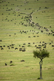 Kenya, Masai Mara, Thousands of Wildebeest Preparing of the Migration Photographic Print by Anthony Asael