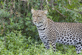 Close-up of Leopard Standing in Green Foliage, Ngorongoro, Tanzania Photographic Print by James Heupel