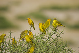 Kenya, Amboseli National Park, Yellow Canary or Weaver Papier Photo par Anthony Asael