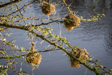 Kenya, Maasai Mara, Weaver Bird Nests Hanging over Mara River Photographic Print by Alison Jones