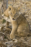 Okavango Delta, Botswana. Close-up of Lion Cub with Paw Stuck in Twigs Photographic Print by Janet Muir