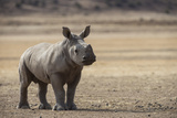 White Rhinoceros Calf, Great Karoo, Private Reserve, South Africa Photographic Print by Pete Oxford