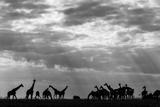 Botswana, Chobe NP, Herd of Giraffes Feeding Along Chobe River's Banks Photographic Print by Paul Souders