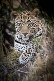 Londolozi Reserve, South Africa. Close-up of Leopard Resting in a Tree Photographic Print by Janet Muir