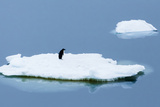 Lemaire Channel, Antarctica. Adelie Penguin Rests on Sea Ice Photographic Print by Janet Muir