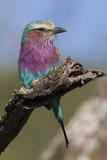 Highly Colorful Lilac-Breasted Roller Sits on a Tree Branch Photographic Print by James Heupel