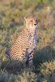 A Single Male Cheetah Sittings in the Grass, Ngorongoro, Tanzania Photographic Print by James Heupel