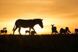 Kenya, Maasai Mara, Mara Triangle, Zebras and Impala at Sunset Photographic Print by Alison Jones