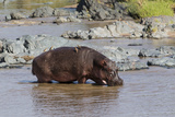 Four Oxpecker Birds Perch on Back of Hippo, Landscape View Photographic Print by James Heupel