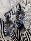 Namibia, Etosha National Park. Portrait of Two Zebras Fotografisk tryk af Wendy Kaveney