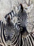 Namibia, Etosha National Park. Portrait of Two Zebras Lámina fotográfica por Wendy Kaveney