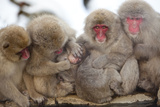 Japanese Macaque, Snow Monkey, Joshin-etsu NP, Honshu, Japan Photographic Print by Peter Adams