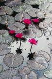 Lily Flowers and Pads, Inle Lake, Shan State, Myanmar Reproduction photographique par Keren Su