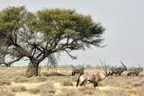 Namibia, Etosha National Park. Five Oryx and Tree Photographic Print by Wendy Kaveney