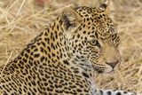 South Ngala Private Game Reserve. Close-up of Adult Leopard Photographic Print by Fred Lord