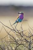 Etosha National Park, Namibia. Lilac-Breasted Roller Fotografisk tryk af Janet Muir