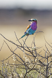 Etosha National Park, Namibia. Lilac-Breasted Roller Photographic Print by Janet Muir