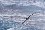 Drake Passage, Southern Ocean. Flying Light-Mantled Albatross Photographic Print by Janet Muir