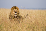 Kenya, Maasai Mara, Mara Triangle, Mara River Basin, Lion in the Grass Photographic Print by Alison Jones
