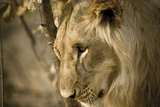 Livingstone, Zambia. Pensive Look of a Young Male Lion Photographic Print by Janet Muir