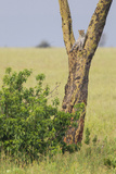 Leopard Resting 10 Feet Up in Acacia Tree, Grassy Plains Behind It Photographic Print by James Heupel