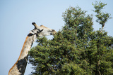 Giraffe Eating from Acacia Tree Photographic Print by Sheila Haddad