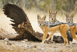 Etosha NP, Namibia. Black-Backed Jackals by a Giraffe Carcass Photographic Print by Janet Muir