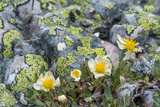 Mountain Avens and Lichen, Assiniboine Provincial Park, Alberta Photographic Print by Howie Garber