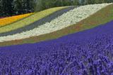 Lavender Farm, Furano, Hokkaido Prefecture, Japan Photographic Print by Keren Su