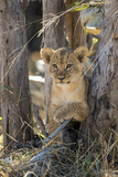 Botswana, Chobe NP, Lion Cub Resting in Shade of Acacia Tree Photographic Print by Paul Souders