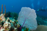 Purple Sea Fan (Gorgonia Ventalina) with Divers in Background Lámina fotográfica por James White